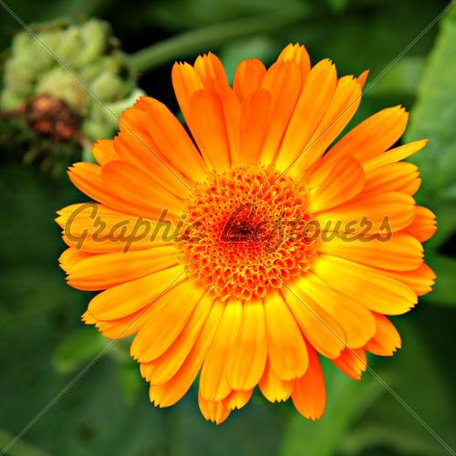 October Birth Flower Marigold Joseph Probably Never