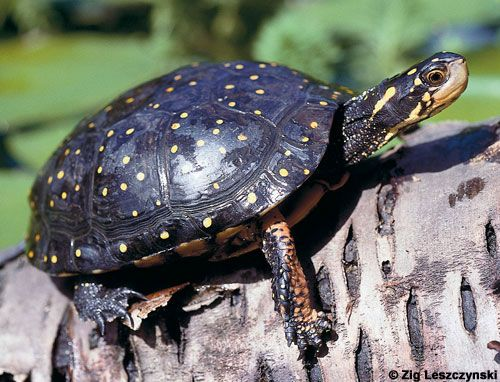 ... species of Clemmys, is a small, semi-aquatic turtle found in