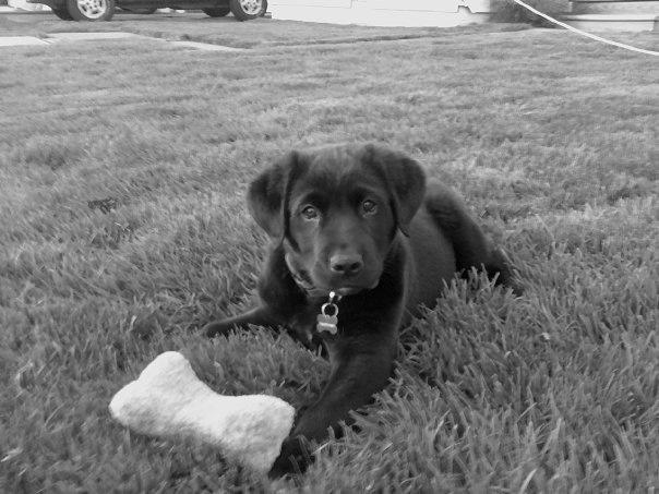 Eli, labrador/australian shepherd mix | Cute Dogs | Pinterest