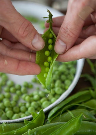 Shelling peas for the Summer House Lobster Salad. PHOTOGRAPH BY Cedric ...