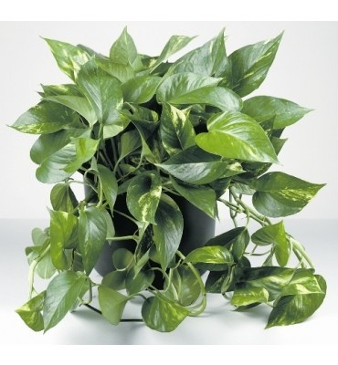 Golden Pothos Clean Air Foliage Plants Pinterest