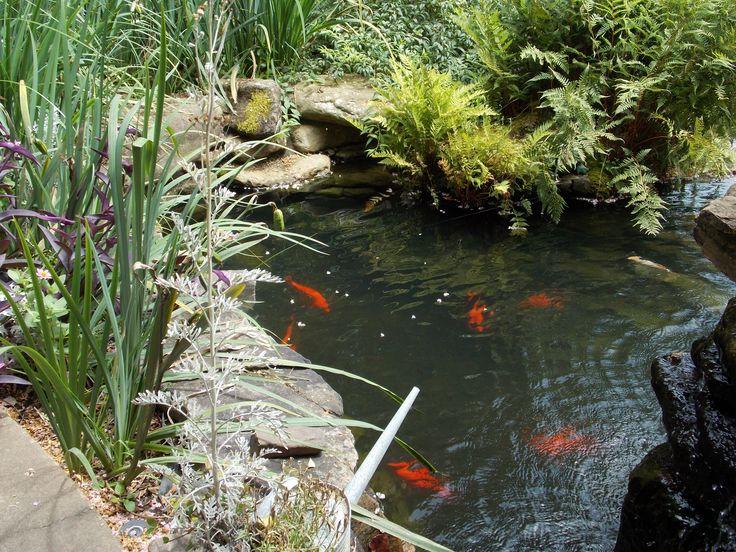 Coy fish pond future pets pinterest for Coy ponds pictures