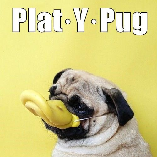 Pug Funny Humor Captions