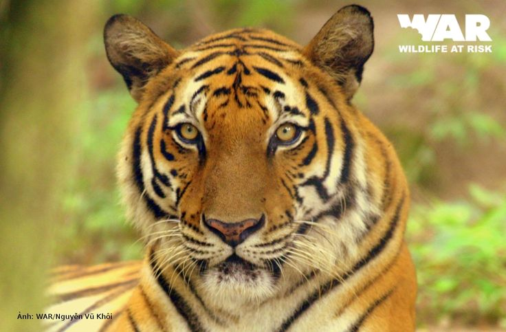 indochinese tiger   Indochinese Tiger   Wild Things ...