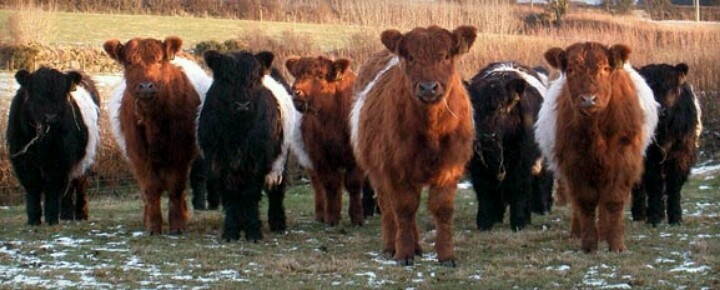Belted Galloway | cows and calves | Pinterest