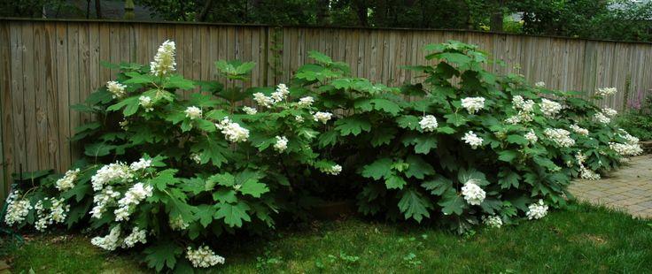Alice Oakleaf Hydrangea - summer bloomOakleaf Hydrangea Alice