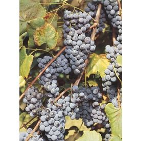 98 Concord Grape (L4863) Item #: 90474 | Model #: NURSERY. Ripens ...