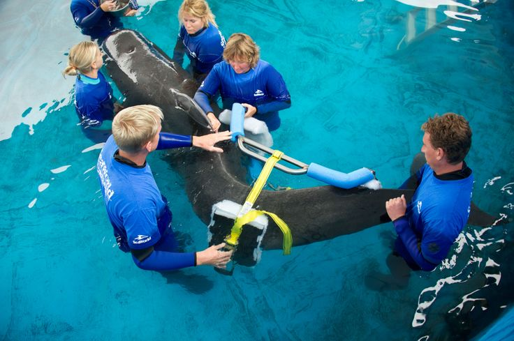 Pilot whale has brace fitted at SeaWorld Orlando