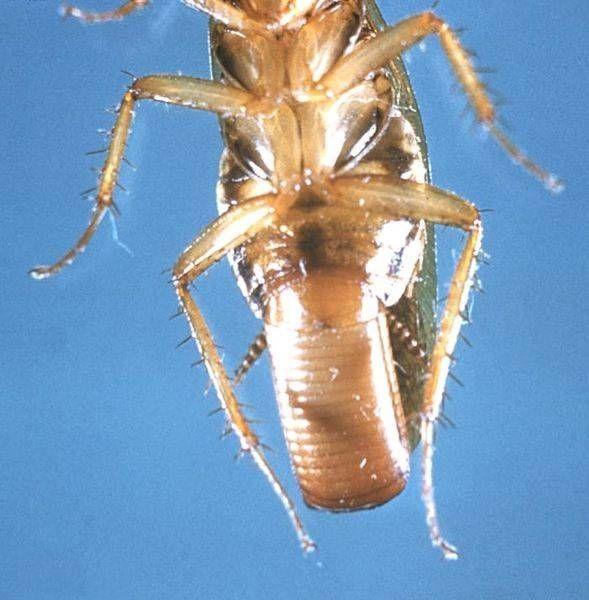 how does boric acid kill bed bugs