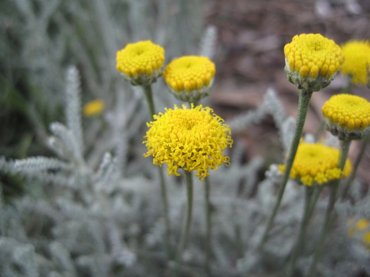 Santolina chamaecyparissus (cotton lavender / abrótano hembra ...