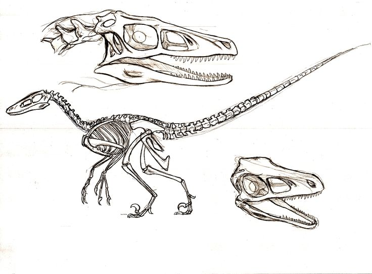 Drawing a Velociraptor Skeleton/Fossil