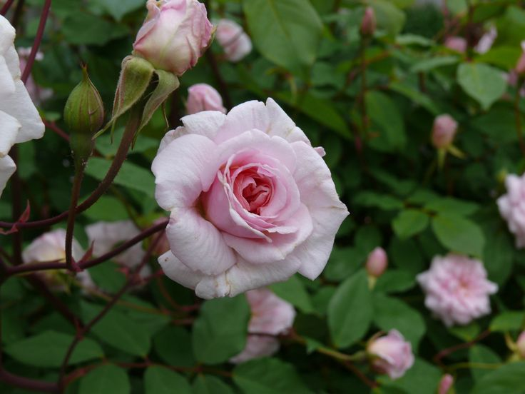 how to move a cecil brunner rose