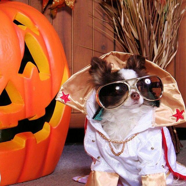 Chihuahua Halloween costume | HALLOWEEN MAKEUP, …