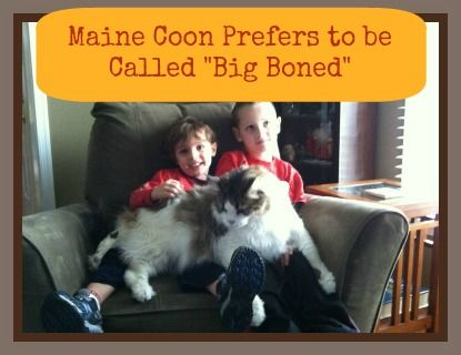 Maine coon prefers to be called big boned