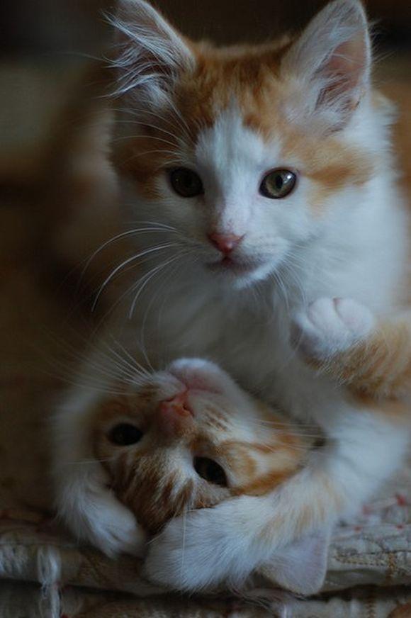 Mother Cat Wrestling Kittens