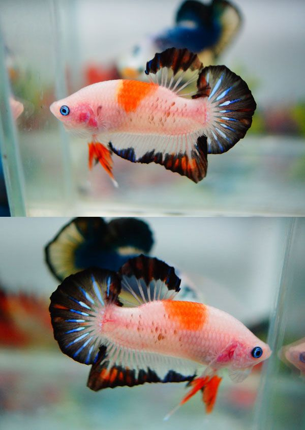 koi betta fish pinterest