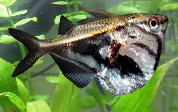 Marbled Hatchetfish Aquariums: Freshwater Fish Pinterest