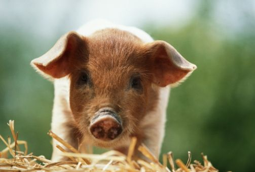 2014 Feng Shui Tips for the Chinese Zodiac Sign of PIG http://fengshui
