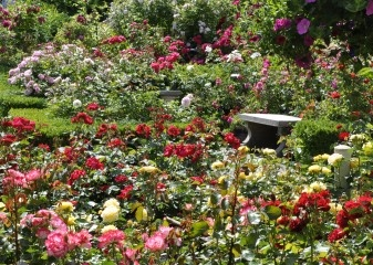 Palatine Roses | Mail Order, Bare Root Roses & Rose Bushes