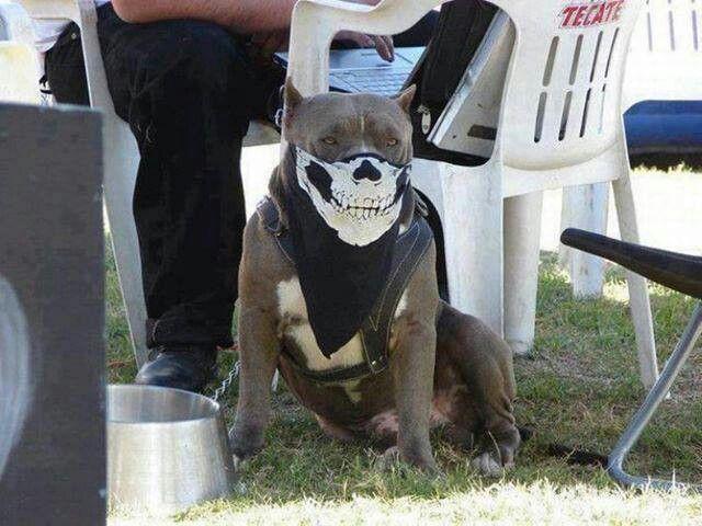 pitbulls dogs on steroids