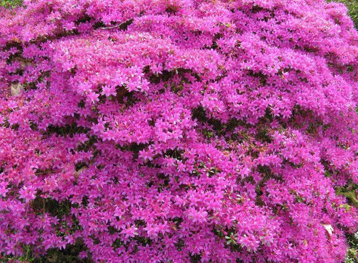 Azalea flowering shrubs garden ideas pinterest - Blooming shrubs ...