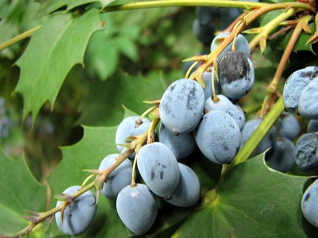 Blueberries origin japan study in pale blue pinterest