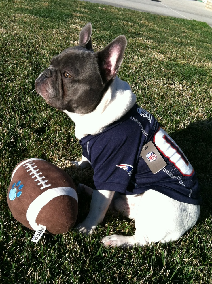 cute frenchie in patriots gear