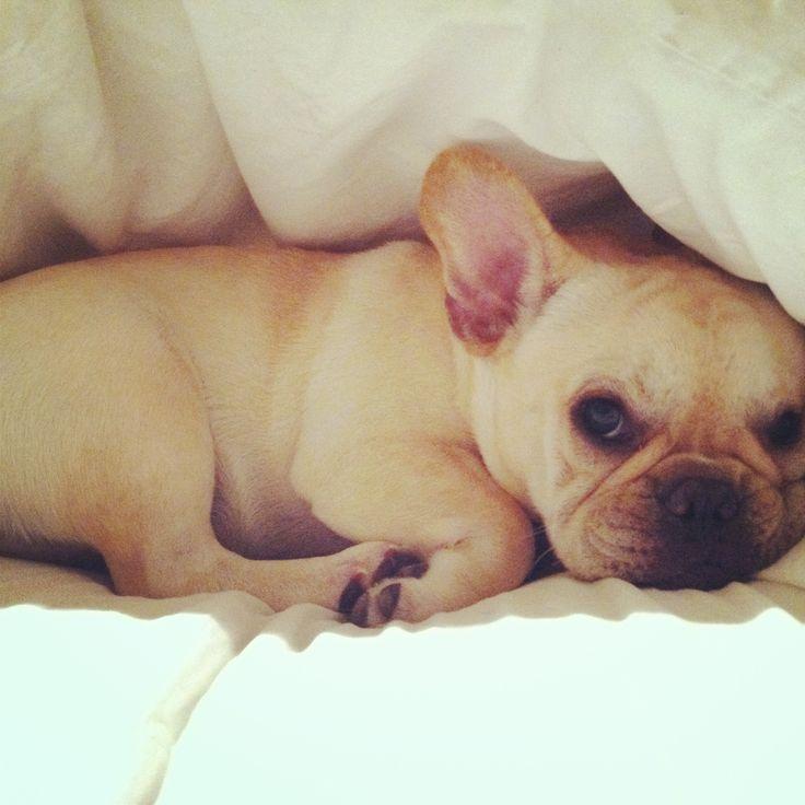 Baby frenchie! | Animals | Pinterest