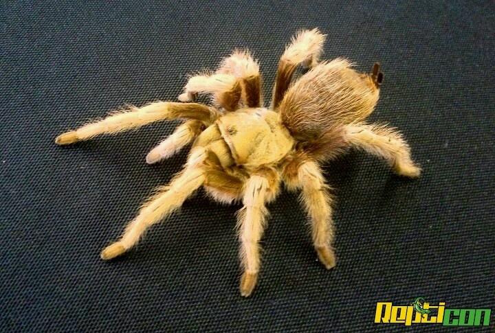 blonde tarantula strange creatures and pretty creatures