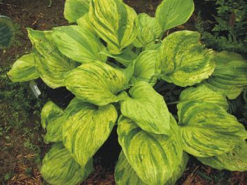 Hosta 'Gunther's Prize.' A highly sought after sport of 'Sum and