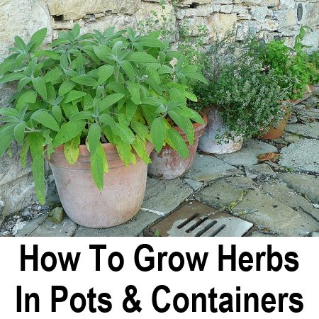 how to grow herbs in containers garden herbs pinterest
