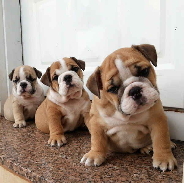 Lineups:   This Instagram Account (Full Of Bulldog Puppies) Will Revolutionize Your Life