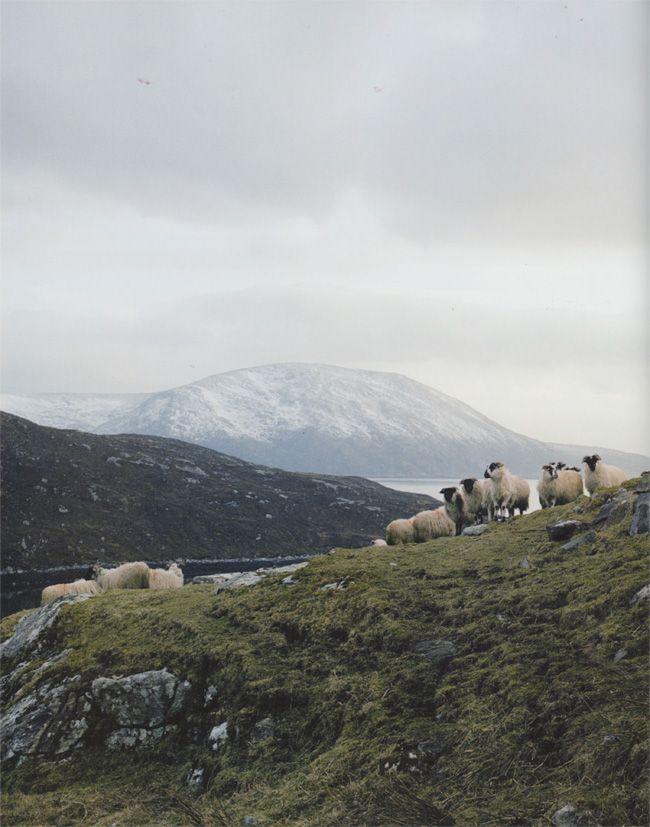 bonny sheep