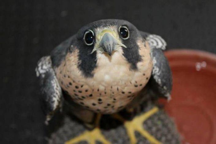 Baby hawk bird - photo#28