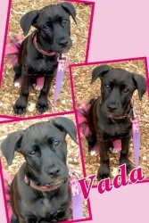 Vada is an adoptable Labrador Retriever Dog in Roseville, MI. Vada is a 13 week old female pit bull mix we are unsure of her mix but we think she may have some lab and shepherd in her. She was rescued...