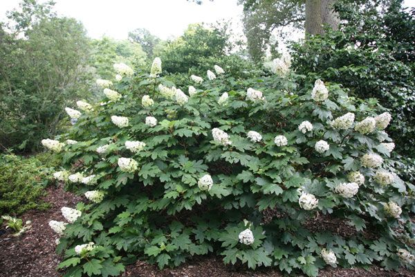 Pin by anne tricot on plants pinterest for Ortensia quercifolia