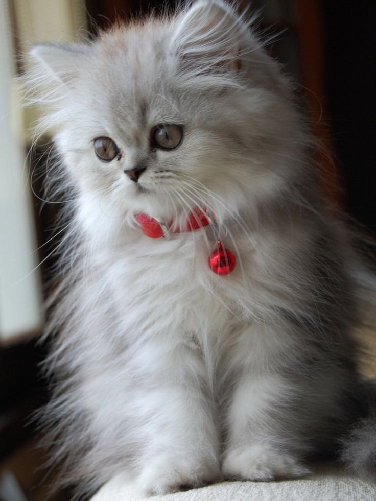 Black Persian Cat Adorable Black Fluffy Persian Cat