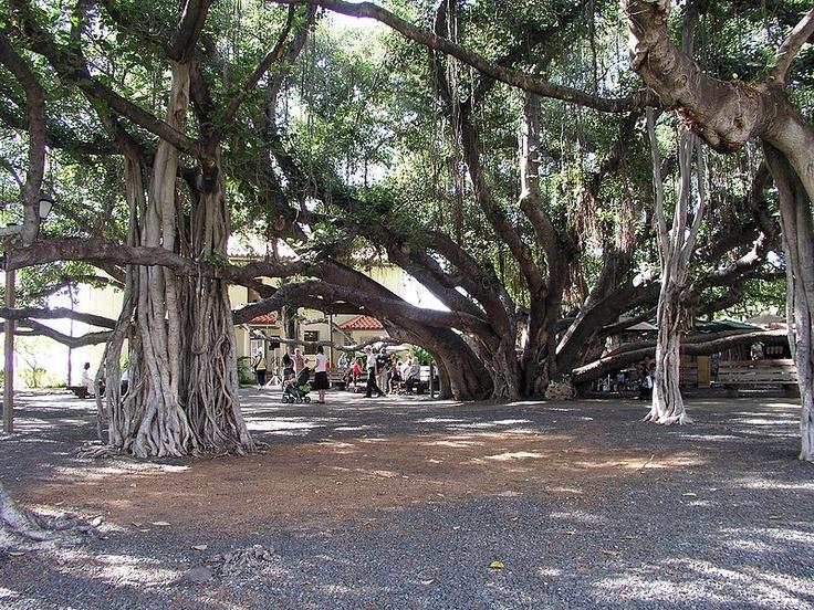 Banyan Tree - Lahaina, Maui  Places I Love to Visit ...