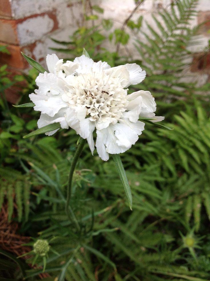 Scabia flowers in season february march pinterest for Flowers in season in february