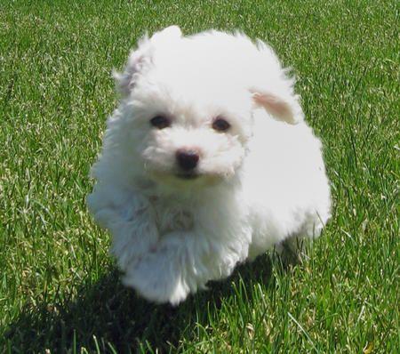 BICHON  Fab bichon puppy  Zoe the Bichon Frise Pictures 127029