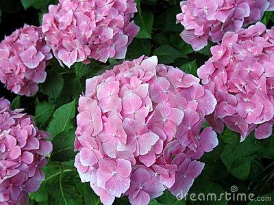 Pink Snowball... love | Indoor & Outdoor | Pinterest