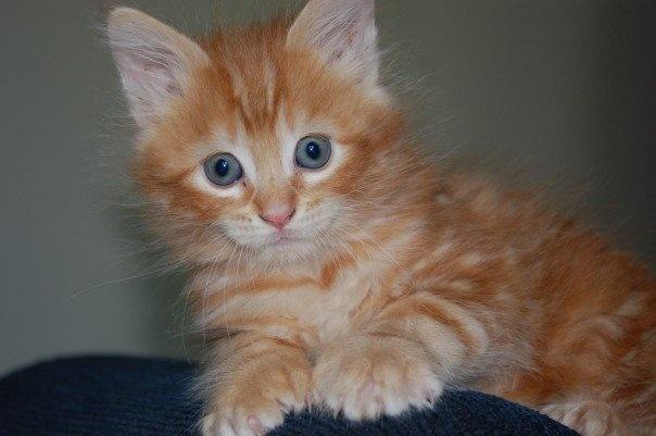 my orange polydactyl kitten   Orange Polydactyl Cat
