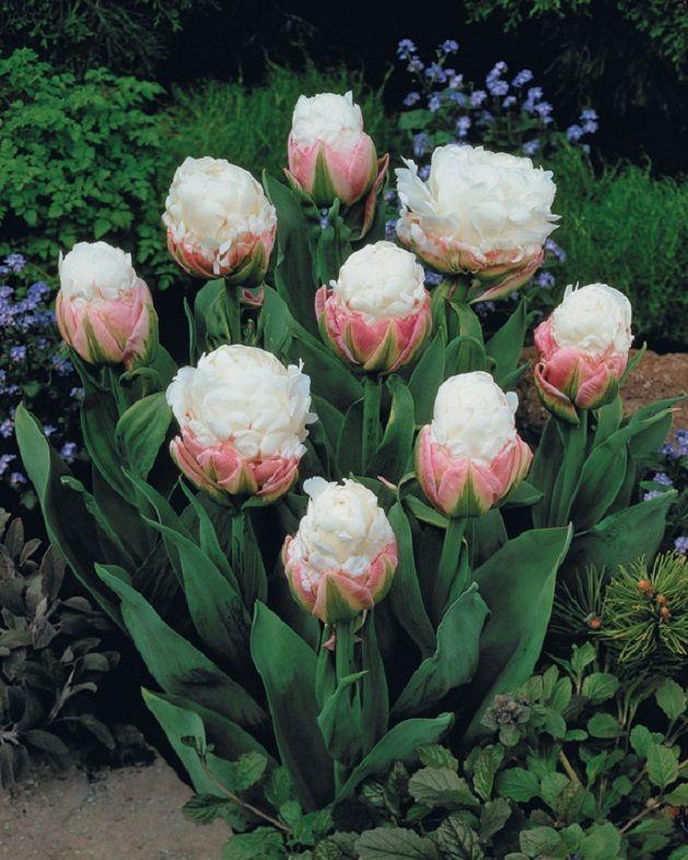 tulips ice cream flowers pinterest. Black Bedroom Furniture Sets. Home Design Ideas
