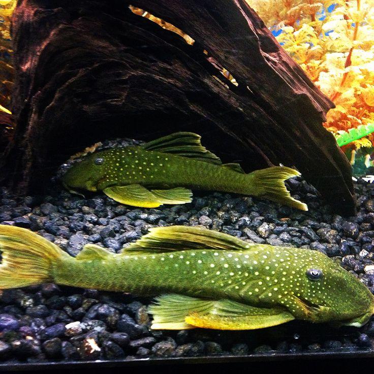 1000 images about aquarium fish on pinterest aquarium for Dream of fish tank