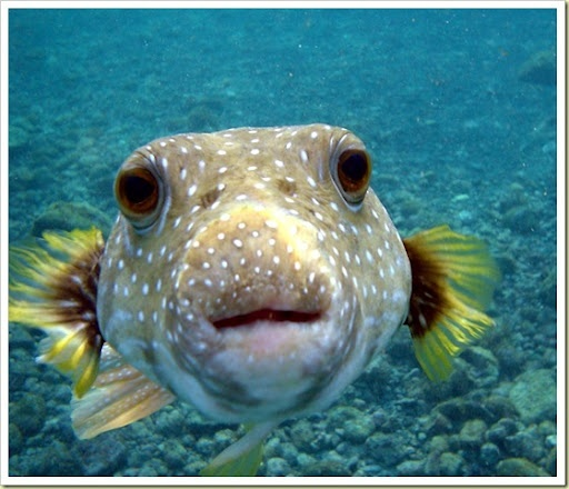 Pinterest discover and save creative ideas for Dog face puffer fish