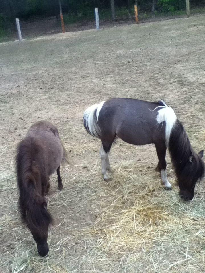 Cute miniature horses - photo#15