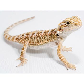 Bearded Dragon so cute! | Spencer!!!! New family member ...