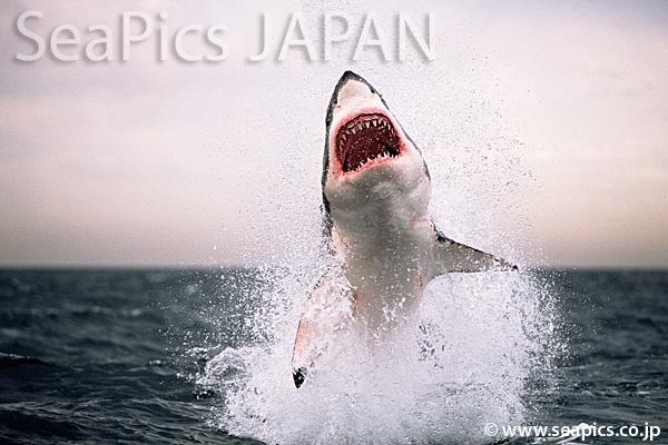 ホホジロザメの画像 p1_8
