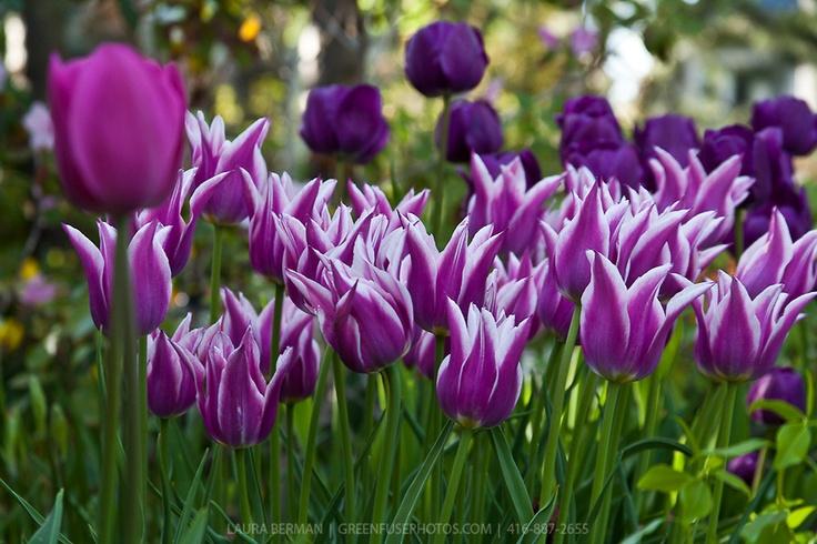 Purple and white tulips Purple And White Tulips