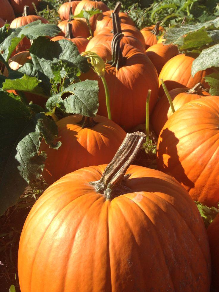 pumpkin patch tracy ca